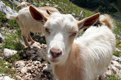 Chèvres sur Durmitor Photo libre de droits