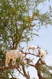 Chèvres sur l'arbre d'argan, Essaouira, Maroc Photographie stock libre de droits