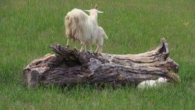 Chèvres sur l'arbre tombé dans le pré banque de vidéos