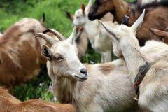 Chèvres sur la montagne de Stara photo stock