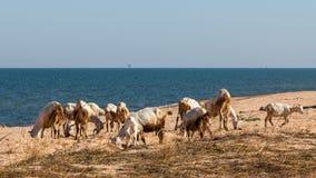 Chèvres sur la plage Photographie stock libre de droits
