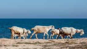 Chèvres sur la plage Image libre de droits