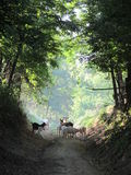 Chèvres sur la route Images stock