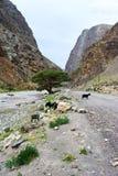 Chèvres sur la route de montagne Photo stock