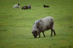 Chèvres sur le champ Photo stock