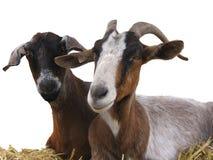 Chèvres sur le foin Image libre de droits