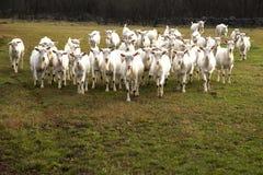 Chèvres sur le pâturage Photographie stock libre de droits