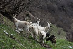 Chèvres sur une colline verte Photographie stock libre de droits