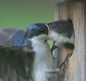 Chéri alimentante mâle d'hirondelle d'arbre Photos stock