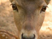Chéri-cerfs communs Photographie stock libre de droits