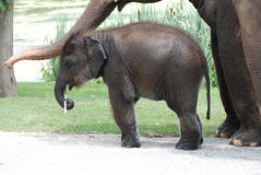 Chéri d'éléphant Photo libre de droits