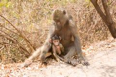 chéri de babouin Photos stock