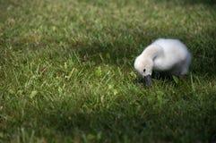 Chéri de cygne muet mangeant une certaine herbe Image libre de droits