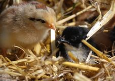 Chéri de deux poulets Image libre de droits