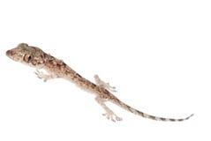 Chéri de Gecko d'isolement photo libre de droits