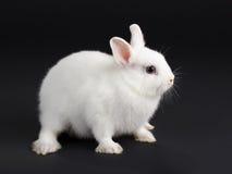 Chéri de lapin. images libres de droits