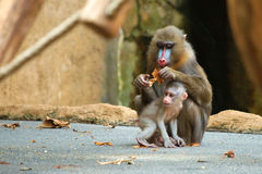 Chéri de Mandrill avec son parent Photos stock