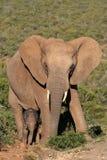 Chéri et mère d'éléphant Image libre de droits