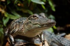 Chéri Gator Photographie stock libre de droits