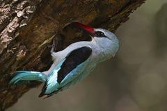 Chéris alimentantes de martin-pêcheur de régfion boisée Photo libre de droits