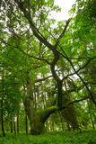 Chêne antique. photographie stock