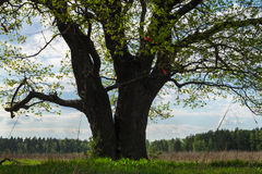 Chêne antique au printemps Photographie stock