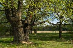 Chêne antique au printemps Image stock