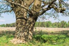 Chêne antique au printemps Images stock