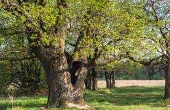 Chêne antique au printemps Photo stock