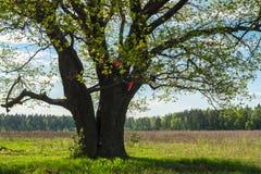 Chêne antique au printemps Photos stock