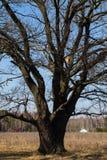 Chêne antique avec la volière sur les branches nues en premier ressort Photo libre de droits
