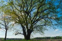Chêne antique en premier ressort Photographie stock