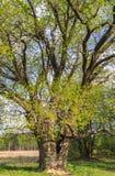 Chêne antique en premier ressort Image libre de droits