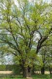 Chêne antique en premier ressort Images libres de droits