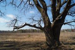 Chêne antique en premier ressort Photographie stock libre de droits