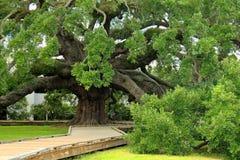 Chêne antique puissant célèbre à Jacksonville photos stock