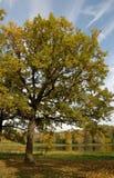 Chêne-arbre d'automne images libres de droits