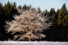 Chêne avec la gelée image libre de droits