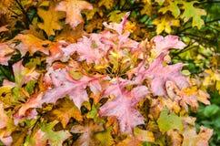 Chêne avec les feuilles brun-rougeâtre images libres de droits