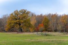 Chêne coloré et inextricable de vieil automne photographie stock libre de droits