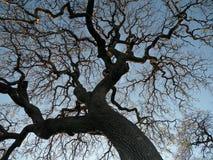 Chêne contre le coucher du soleil Photographie stock