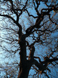 Chêne contre le coucher du soleil Photographie stock libre de droits