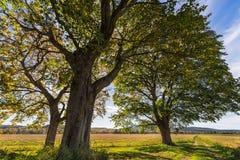 Chêne d'automne Images libres de droits