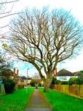 Chêne d'hiver sur un chemin paisible de chemin Photo libre de droits