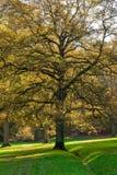 Chêne dans des couleurs d'automne Photo libre de droits