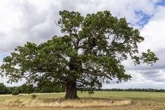 Chêne dans l'espace vert Photographie stock libre de droits