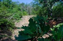 Chêne dans la forêt Image stock