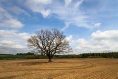 Chêne dans le domaine Photo stock