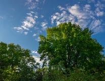 Chêne dans les rayons du soleil Images libres de droits
