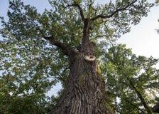 chêne de 500 ans, qui a survécu à plusieurs grèves surprise dans Jaszczurowa images stock